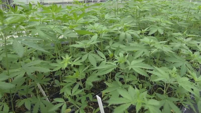 A marijuana farm.