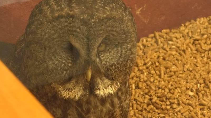 Beaker, a gray owl