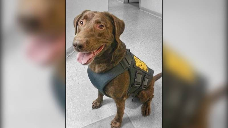 """""""Hershey,"""" a K-9 officer that retired from the St. Lawrence Co. Sheriff's Office in 2017."""