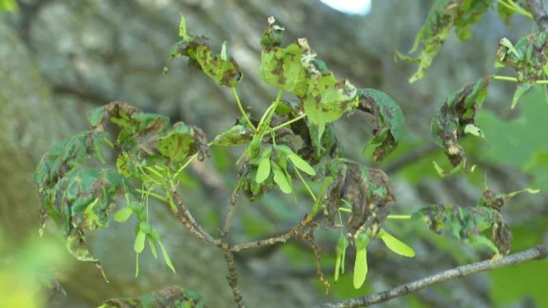 Maple anthracnose